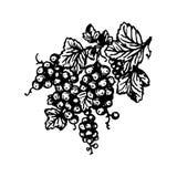 Illustration för utdragen för bär för vektorhand utdragen för vinbär hand för filial på vit bakgrund vektor illustrationer
