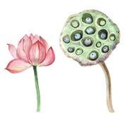 Illustration för vattenfärg för konst för vatten för Lotus rosa färgblomma vektor illustrationer