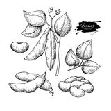 Illustration för vektor för växt för vit böna hand dragen Isolerat grönsak inristat stilobjekt stock illustrationer