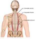 Illustration för vektor för tillbaka muskler för muskeliliocostalis mänsklig royaltyfri illustrationer
