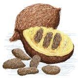 False durian nut Royalty Free Stock Photo
