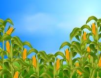 Farm scene with fresh corn Royalty Free Stock Photography
