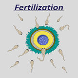 Illustration of a female egg fertilization sperm. Llustration of a female egg fertilization sperm Royalty Free Stock Images
