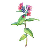 Illustration of  first spring wild flowers - Dark lungwort medicinal Pulmonaria officinalis. Stock Photos