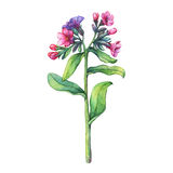 Illustration of  first spring wild flowers - Dark lungwort medicinal Pulmonaria officinalis. Stock Images