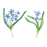 Illustration of first spring wild flowers - Scilla bifolia blue forest flowers. Royalty Free Stock Image