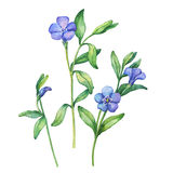 Illustration of  first spring wild flowers - Vínca mínor. Royalty Free Stock Photos