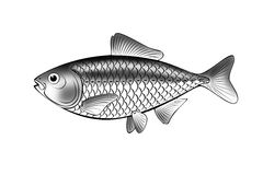 Illustration of fish isolate. Black and white illustration of fish isolate stock illustration