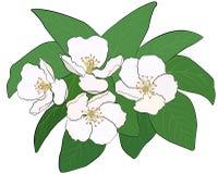Flowering branch of gunce Stock Photos