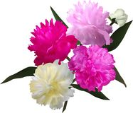 Four peony flowers and bud isolated on white Royalty Free Stock Photos