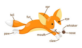 Illustration of fox vocabulary part of body. Vector Stock Photography