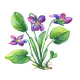 Illustration of Fragrant violets wild flower English Sweet Violets, Viola odorata. Hand drawn watercolor painting on white background Stock Photography
