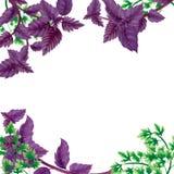 Illustration frame of Basil and parsley leaves. royalty free illustration