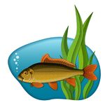 Fish in water. Illustration of freshwater carp fish swimming in the water with green tape-grass in the background Stock Image