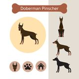 Doberman Pinscher Dog Breed Infographic. Illustration, Front and Side View, Icon Royalty Free Stock Photo