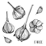 Illustration with garlic Royalty Free Stock Images