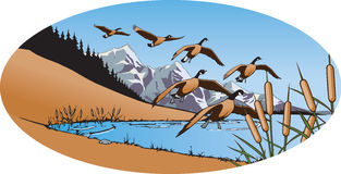 Canada Geese 2. Illustration of Geese landing on Mountain lake. High resolution jpeg and layered vector files available Royalty Free Stock Photos