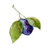 Illustration gezeichneten Aquarellmalerei der Fruchtpflaume der Hand auf Weiß Lizenzfreie Stockfotografie