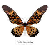 Illustration of Giant African Swallowtail - Papilio antimachus.  Stock Image