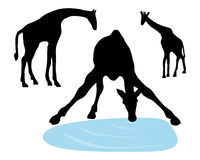 Illustration of giraffes drinking Royalty Free Stock Photo