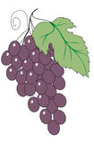 Illustration of grapes. Illustration of a still life of grapes on a white background Stock Photos