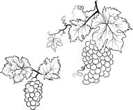 Illustration of grapes and leafs Royalty Free Stock Photography