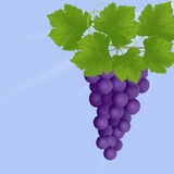 Illustration of  grapes Stock Photography