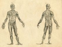 Illustration gravée par dessin humain de vintage d'anatomie de muscle Photographie stock