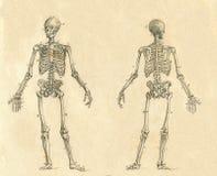Illustration gravée par dessin squelettique humain de vintage Photographie stock