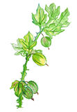 Illustration of green branch with a gooseberry fruit and leaves Stock Photos