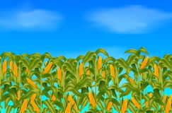 Green corn field growing up on blue sky Royalty Free Stock Photography