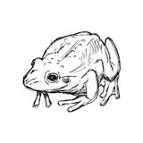 Illustration  hand drawn doodle toad  on white. Stock Photos