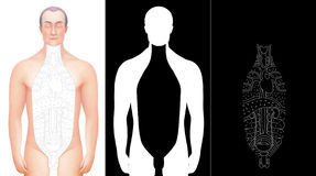 Illustration of hand drawn excised male anatomy model  Royalty Free Stock Image