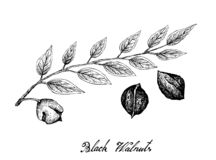 Hand Drawn of Black Walnuts on A Branch stock image