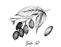 Hand Drawn of Galip Nut on A Branch royalty free stock photos