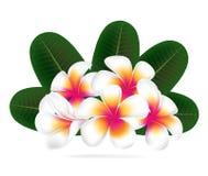 Illustration  of Hawaii flower Frangipani, white Plumeria. On white background Stock Photo