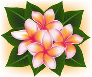 Illustration  of Hawaii pink flower Frangipani, plumeria rubra Stock Photo