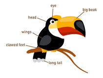 Illustration of hornbill vocabulary part of body Royalty Free Stock Photo