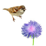Illustration of House Sparrow and blue purple. Flower. Isolated on white background Stock Photography
