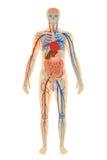 Illustration human anatomy of man on white Stock Photo