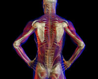 Illustration of  Human back and skeleton Stock Photography