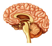 Illustration of human brain Stock Photo