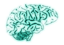 Illustration of a Human Brain Stock Image