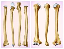 Front and side view of the humerus and radial bone.