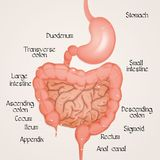 Illustration of intestine. Illustration of human intestine scheme Royalty Free Stock Images