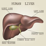 Illustration of the human liver anatomy Royalty Free Stock Photo