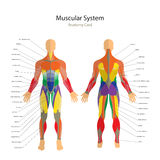Illustration of human muscles. Exercise and muscle guide. Gym training. Front and rear view. Muscle man anatomy. Detailed illustration of human muscles. Male vector illustration