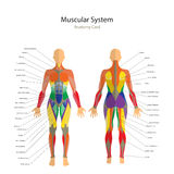Illustration of human muscles. The female body. Gym training. Front and rear view. Muscle man anatomy. Detailed illustration of human muscles. The female body royalty free illustration