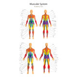 Illustration of human muscles. Female and male body. Gym training. Front and rear view. Muscle man anatomy. Royalty Free Stock Photos