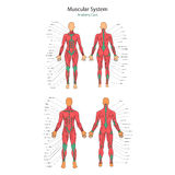 Illustration of human muscles. Female and male body. Gym training. Front and rear view. Muscle man anatomy. Royalty Free Stock Photo